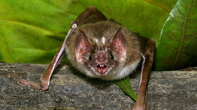 vampire bats in the Amazon rainforest